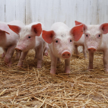 «Topigs Norsvin» will take part in «MVC: Cereals - Mixed Feed – Veterinary-2018» trade fair